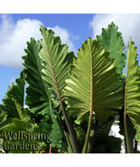 SHIP FROM US Portora Elephant Ear Alocasia Live Plant Green tropical gar... - $44.00