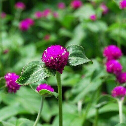 SHIP FROM US 50 Gomphrena Purple Globe Flower Seeds (Gomphrena Globosa), UTS04 - $11.98
