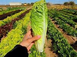 20 seeds Romaine Paris Island Cos lettuce New seeds Heirloom - $10.00
