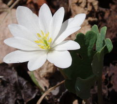 Bloodroot 5 roots-flowering perennial (sanguinaria canadensis) image 1
