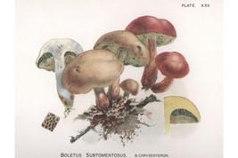 W. Hamilton Gibson: Boletus Subtomentosus - Harper Publishers - 1895 - $12.82+