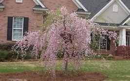 SHIPPED From US, DWARF PINK WEEPING CHERRY TREE *1 FT FLOWERING TREES, P1 - $59.88