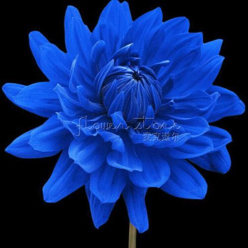 100 Blue Beard Dahlia Flower seeds~beautiful gardens, rare color ,DIY home