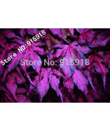 "Tree seeds 20pcs ""Purple Ghost"" Japanese Maple Seed Novelty bonsai! DIY - $3.11"