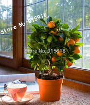 20pcs Edible Fruit Mandarin Bonsai Tree Seeds,Citrus Bonsai Mandarin Ora... - $3.11