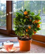 20pcs Edible Fruit Mandarin Bonsai Tree Seeds,Citrus Bonsai Mandarin Ora... - $3.11