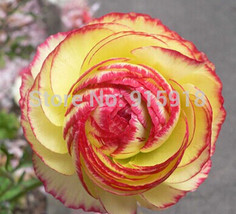 Red Yellow Bonsai flower seeds 50Pcs Ranunculus asiaticus Flower Seeds - $3.00