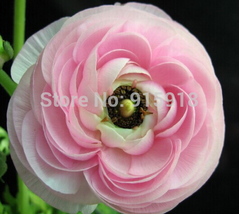 White Pink Bonsai flower seeds 50Pcs Ranunculus asiaticus Flower Seeds - $3.00