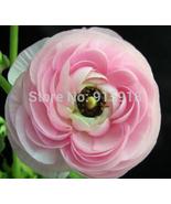 White Pink Bonsai flower seeds 50Pcs Ranunculus asiaticus Flower Seeds - $3.00