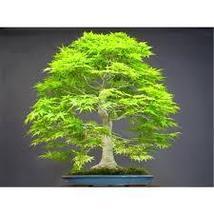 Bonsai seeds 50pcs Dawn Redwood Bonsai Tree Grove - Metasequoia glyptost... - $3.11