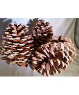 "Beautiful, Fresh, Large Pinecones 6-8"" cones set of 10 - $19.80"