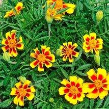 2000 Seeds or 1/4 OZ French Marigold Dwarf Dainty Marietta, NON-GMO - $15.84