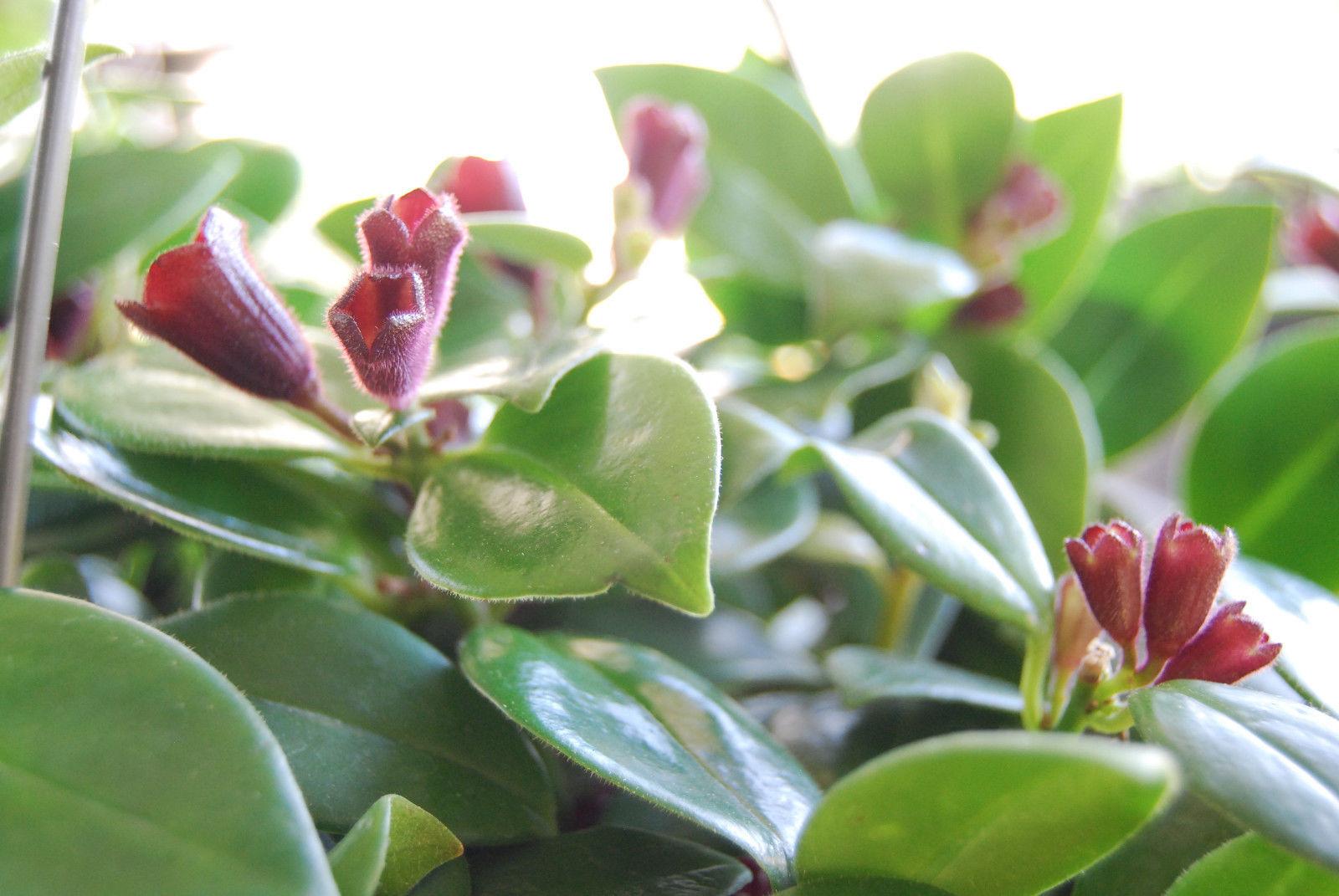 Lipstick Plant Purple Flowering Vining And Similar Items