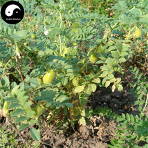 Buy Cicer Arietinum Beans Vegetable Seeds 120pcs Plant Chinese Chickpea ... - $15.99