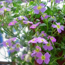 Qixiliang seed garden potted plant aromatic flowers and easy planting 20  - $3.65