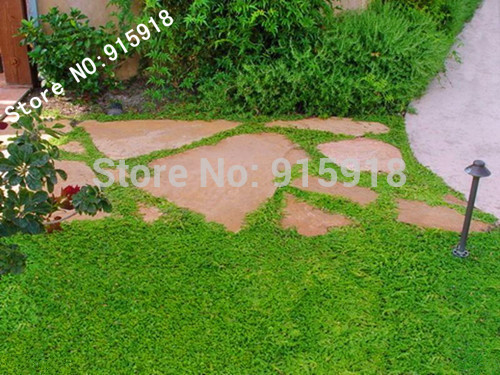 Herniaria Glabra Seeds 200pcs GREEN CARPET Ground Cover, Grow in poor soil