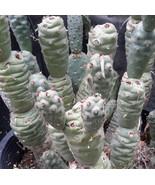 Tephrocactus articulatus v. strobiliformis Knob... - $9.84