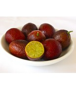 20pcs Rare Australian Blood Lime (sanguinea x limonia) Easy Container Gr... - $3.78