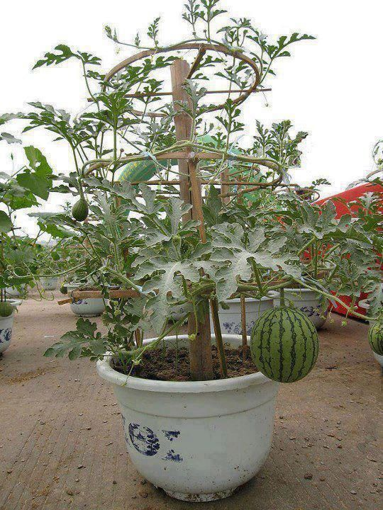 "Primary image for 10pcs Watermelon plant ""Little Baby Flower ""(Citrullus lanatus) NON-GMO seeds"