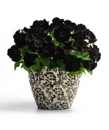 200pcs Beautiful Black velvet petunia seeds rare variety, hardy, lasting... - $3.80