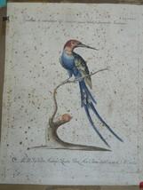 antique colored etching Italian -galbula longicauda surinamensis -18th c... - $187.11