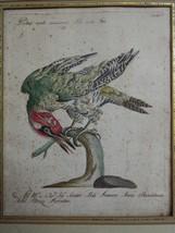 antique colored etching Italian -pichio verde -18th century  - $147.51