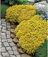 50pcs Sedum-Acre Golden Carpet, Yellow Stonecrop ground cover Flower  - $3.58