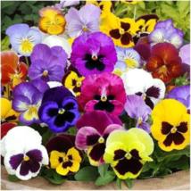 100 Pansy 'Swiss Giants Mix' Flower Seeds Viola wittrockiana - $1.79