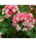 Rare Geranium Appleblossom Rosebud Pelargonium Perennial Flower Seeds Ha... - $5.65