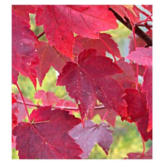 Primary image for 2 Gallon Potted Burgundy Belle Maple Tree Heavy Established Roots 1 Plant