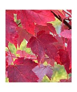 2 Gallon Potted Burgundy Belle Maple Tree Heavy Established Roots 1 Plant - $93.99