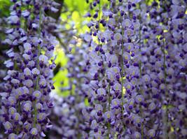 True Variety Light Blue Wisteria Climbing Flower Seeds,100 Seeds / Pack - $17.00
