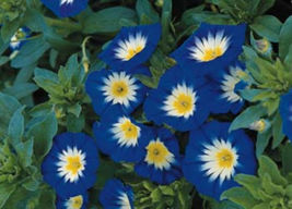 "NEW! 75+ HEIRLOOM SEEDS - MORNING GLORY - ""ENSIGN ROYAL"" DWARF VINE - NO... - $6.77"