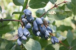 25 Lonicera altaica Seeds, weetberry honeysuckle - $7.95