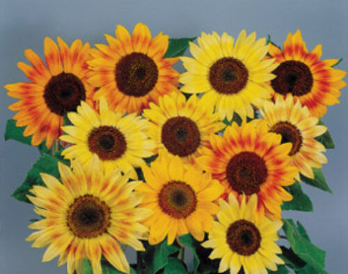 Primary image for Helianthus Sunflower Musicbox Annual Seeds