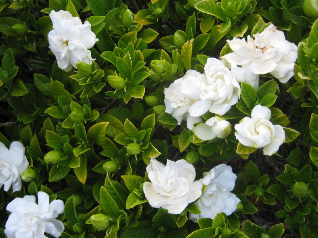 Jasmine Flower Seeds 30pcspack White And Similar Items