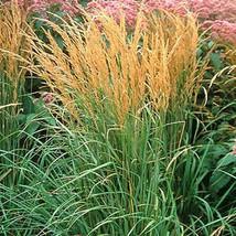 Five Karl Foerster Ornamental Grasses - 5 Perennial Plants - Calamagrostis xacut - $37.70