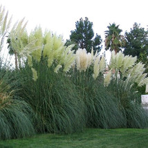 Five White Pampas Grass  - 5 Evergreen Perennial Plants by Hope Springs Nursery  - $37.70