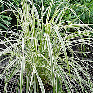 Five 39 sky rocket 39 variegated green fountain grass 5 for Variegated ornamental grass