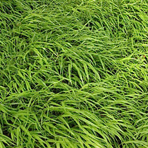 Five Japanese Forest Grass  - 5 HAKONECHLOA macro - Perennial Plants by Hope Spr - $29.70