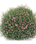 0pcs bag gypsophila paniculata seeds font b pink b font flower seed potted font b pink thumbtall