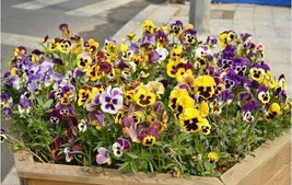 Flower Viola tricolor Seeds, 50pcs Garden bonsa... - $5.50