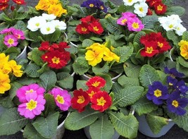 Flower Primula acaulis Seeds, Original Package 30pcs Garden bonsai Flowe... - $4.50