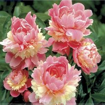 10pcs/lot Rare Heirloom Sorbet Robust Colorful Double Blooms Peony Tree Seeds   - $3.68