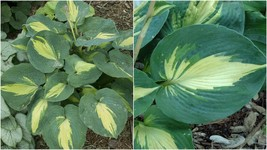 """Hosta Dream Weaver Well Rooted 5.25"""" Pot Perennial Plant - $51.99"""