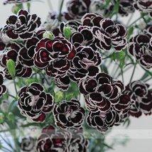 Rare Hardy Perennial Dianthus 'Blackjack' Carnation Flower Seeds, 50 Seeds  - $4.15