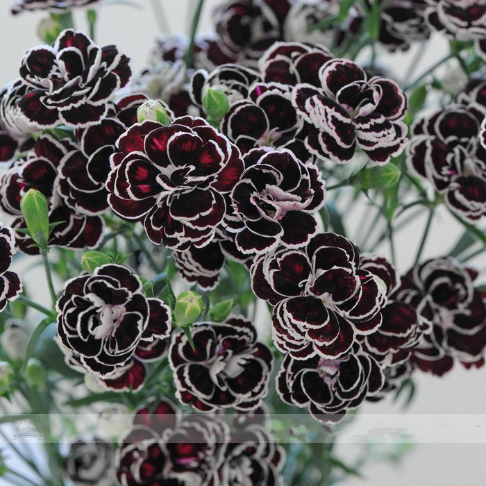 Primary image for Rare Hardy Perennial Dianthus 'Blackjack' Carnation Flower Seeds, 50 Seeds