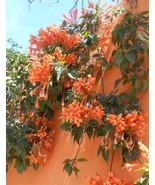 Rare Chinese Orange Pyrostegia venusta Perennial Climbing Plant Seeds, 5... - $5.59