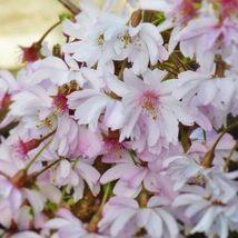 Autumnalis Flowering Cherry Tree image 4