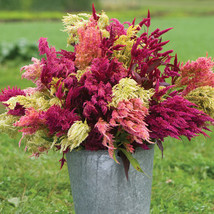 Pampas Plume Celosia Flower Seed - $8.99